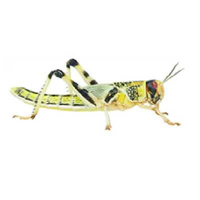 Locusts Various Sizes - Live Food